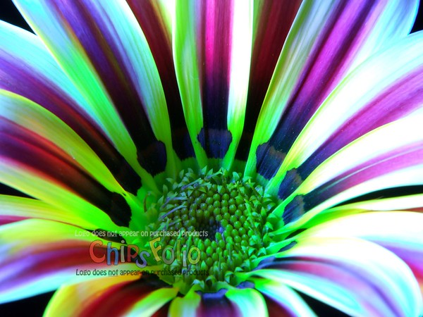 Gazania II - Version THREE