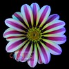 Gazania II - Version ONE