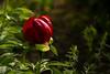 Flower photos at the Geneva Botanical Garden