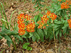 Orange wild flowers - Sedum