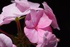 Geranium - Bullseye Light Pink