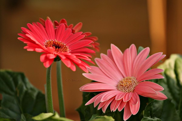 My Favorite Gerbera Daisies<br /> © Pamela Stover <br /> Exposed Images