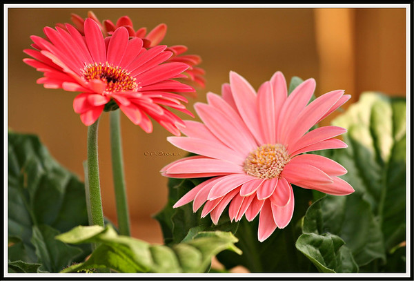 Gerbera Daisies<br /> ©Pamela Stover <br /> Exposed Images Photography