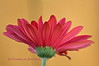 Gerbera Daisy<br /> © Pamela Stover<br /> Exposed Images Photography