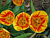 Tulip<br /> © Pamela Stover<br /> Exposed Images Photography