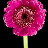 Flower045c (Daisy)
