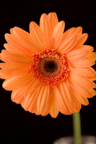 Flower054f (Daisy)