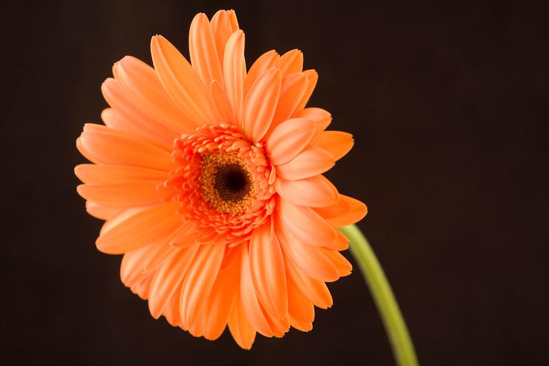 Flower054e (Daisy)