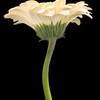 Flower063c (Daisy)