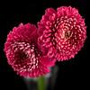 Flower045b (Daisy)