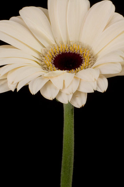Flower063b (Daisy)