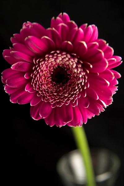 Flower045f (Daisy)