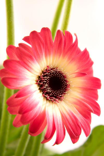 Flower058e (Daisy)