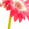 Flower058b (Daisy)