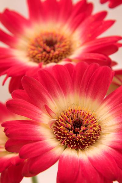 Flower058d (Daisy)