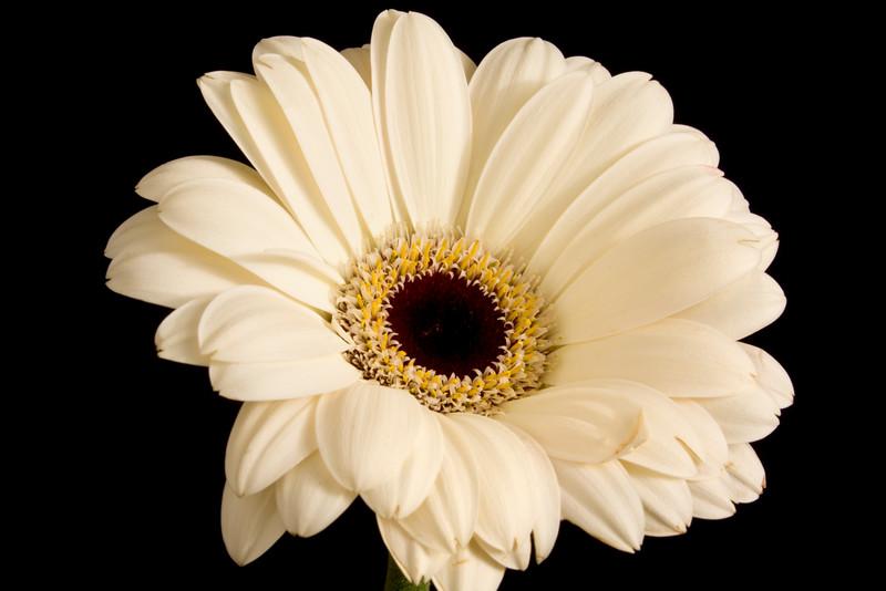 Flower063e (Daisy)