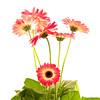 Flower058a (Daisy)