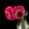Flower045a (Daisy)