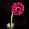 Flower045d (Daisy)