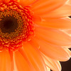 Flower054c (Daisy)