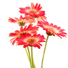 Flower058f (Daisy)