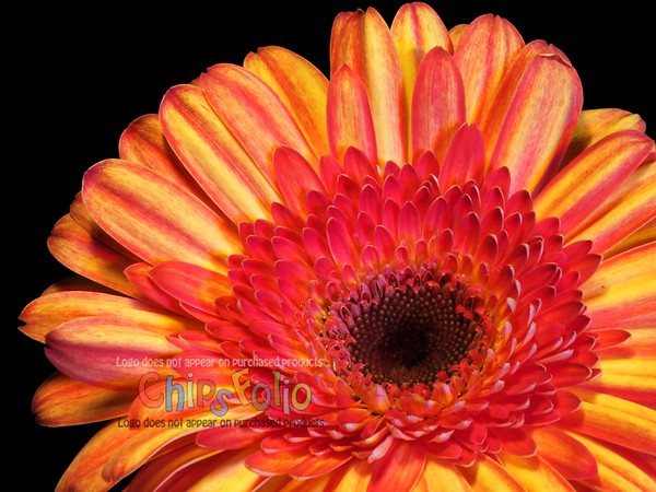 Red and Orange Gerbera Daisy