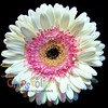 Gerbera Daisy White and Pink