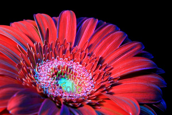 Red Gerbera Daisy - Version TWO