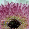 Gerbera Daisy White and Pink Macro - Version ONE