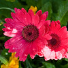 Hot pink gerbera jamesonii hybrid, which bears flowers on tall stems, making them an excellent cut flower