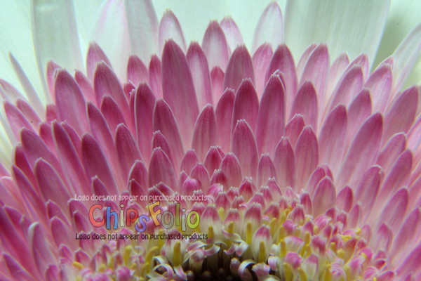 Gerbera Daisy White and Pink Macro - Version TWO