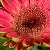 Pink Gerbera jamesonii, or Barberton daisy. These flowers are available in a wide range of colours and can be propagated from seed. Once settled, though, these clump-forming plants do not like to be disturbed.