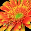 Splashy Orange Gerbera Daisy