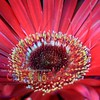 Another Red Gerbera Daisy: Center Close-up