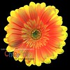 Yellowish Orangish Backlit Dahlia - Version ONE