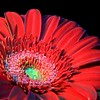 Red Gerbera Daisy - Version ONE