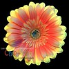 Yellowish Orangish Backlit Dahlia - Version TWO