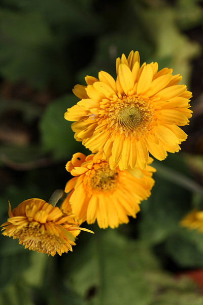 Yellow Gerbera jamesonii, or Barberton daisy. These flowers are available in a wide range of colours and can be propagated from seed. Once settled, though, these clump-forming plants do not like to be disturbed.