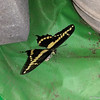 My first Giant Swallowtail was born on October 21, 2016. I missed the butterfly birth since I was at work, but when I came home on my lunch hour, the swallowtail was ready to take flight. It was fluttering around in the mesh cage, and I was afraid it would damage its wings, so I only got one picture before it flew free.