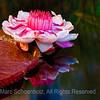 Victoria Adventure Water Lily
