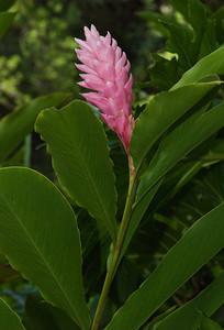 pink ginger  Zingiberaceae Family