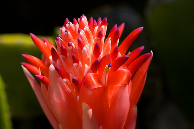Bromeliad (Billbergia pyramidalis)  At The Point along the lava rock wall North Shore of Oahu, Hawaii