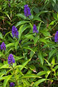 Blue Ginger  Zingiberaceae Family