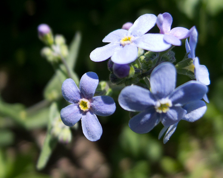 Alpine Forget-me-not.