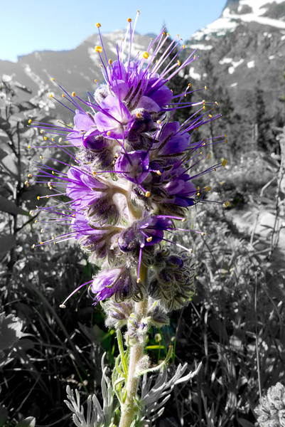 Purple Fringe.