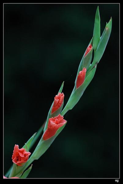 Gladiolus(一串红/唐菖蒲)