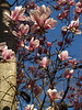 Magnolia in the Morning, with Trunk