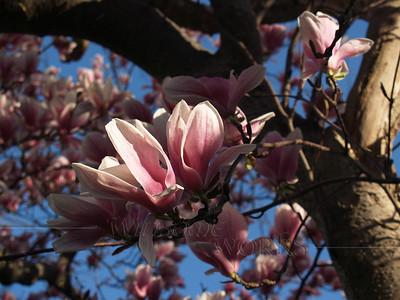 Magnolia soulangeana in Morning