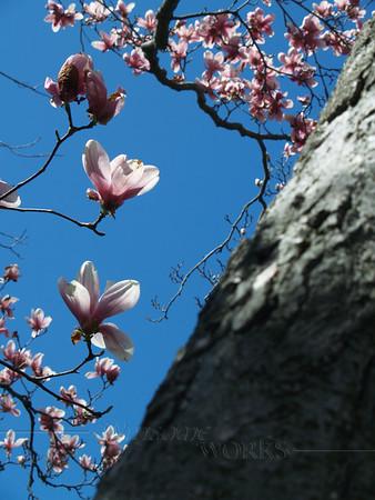 Magnolia Trunk & Flowers (Magnolia soulangeana)