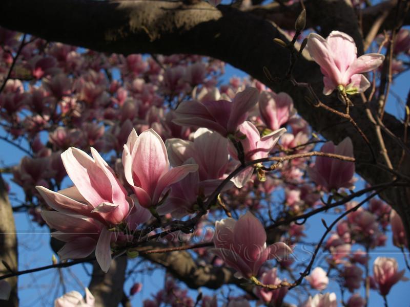 Magnolia soulangeana, morning